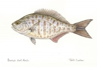 Barred Surf Perch