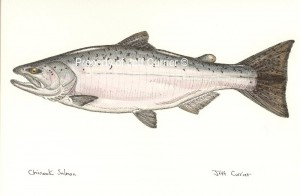 Chinook Salmon (King)