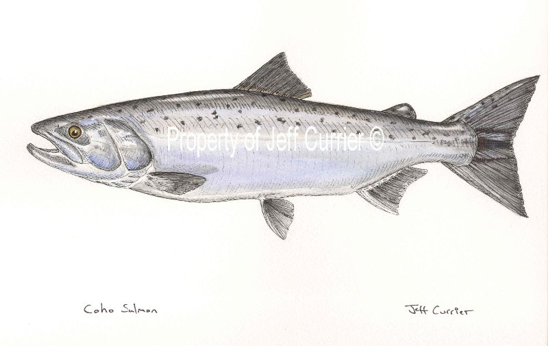 Trout Salmon And Char Jeff Currier