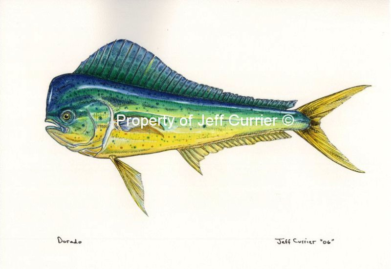 Dolphinfish drawing - photo#13