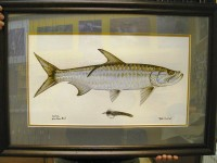 Framed tarpon with remarque