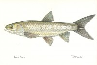 White Amur or Grass Carp