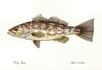 Kelp or Calico Bass