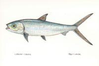 Milkfish or Chanos chanos