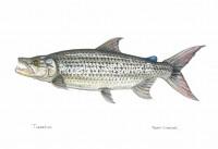 Tanzania Tigerfish