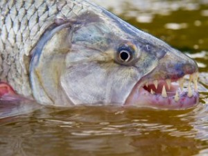 blog-May-26-2013-1-fly-fishing-for-tigerfish