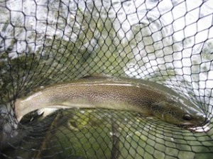 blog-May-30-2013-11-Brown-trout-marble-trout-hybrid