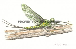 green_drake_mayfly_large