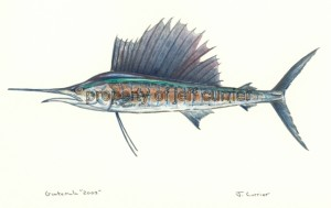 Pacific Sailfish