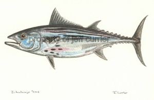 Black Skipjack Tuna