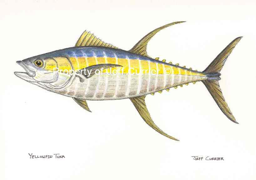 how to draw a tuna