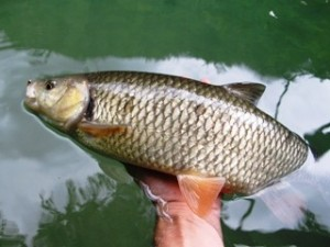 blog-June-1-2013-8-European-Chub-fly-fishing