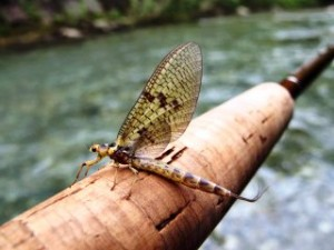 blog-June-13-2013-8-the-mayfly