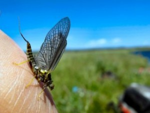 blog-June-15-2013-4-Green-Drake-mayfly