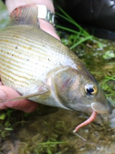 blog-June-2-2013-5-Grayling-with-Trojan-worm
