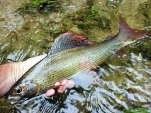 blog-June-2-2013-6-Croatia-European-grayling