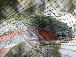blog-June-3-2013-3-Rainbow-trout-Reka-Idrijca
