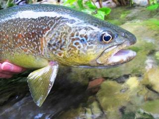 marble-trout-salmo-marmoratus