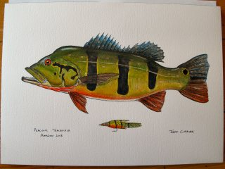 blog-July-1-2013-3-Peacock-Bass-artwork