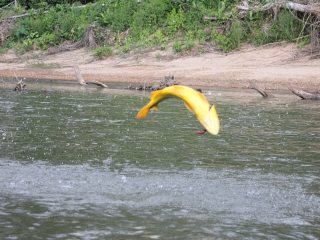 blog-July-28-2013-5-Golden-Dorado