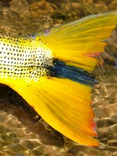 blog-Aug-1-2013-1-Golden-Dorado-Bolivia