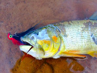 blog-Aug-1-2013-6-Golden-dorado-carnage-in-the-Amazon