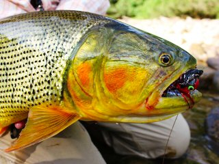 blog-Aug-1-2013-7-fly-fishing-for-golden-dorado-Bolivia