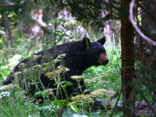 blog-Aug-14-2013-4-black-bear-Grand-Teton-National-Park