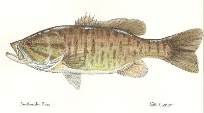 Smallmouth-Bass-Art-by-Jeff-Currier