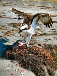 blog-Oct-14-2013-8-osprey-eating-a-corbina