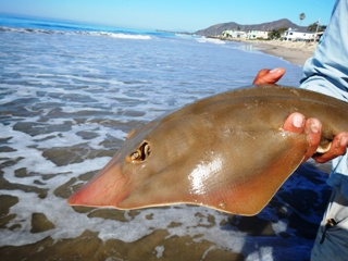 blog-Oct-17-2013-1-shovelnose-guitarfish