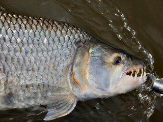 blog-Nov-14-2013-3-tigerfish