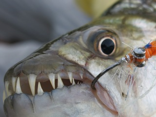 blog-Nov-3-2013-5-tigerfish