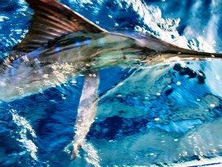 blog-Dec-13-2013-7-striped-marlin