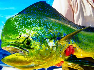 blog-Dec-14-2013-2-flyfishing-for-dorado-mahi-mahi-dolphin