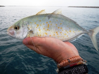 blog-March-22-2014-18-orange-spot-trevally