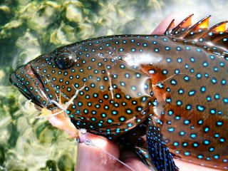 blog-March-25-2014-12-flyfishing-for-peacock-grouper