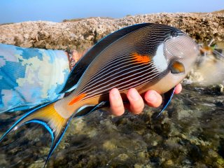 blog-March-29-2014-9-sohal-surgeonfish
