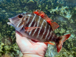 blog-March-30-2014-5-emperor-fish-red-sea