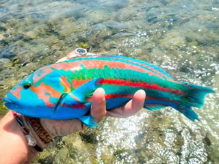 blog-March-31-2014-19-wrasse-red-sea