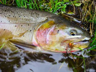 blog-May-10-2014-1-yellowstonecutthroat