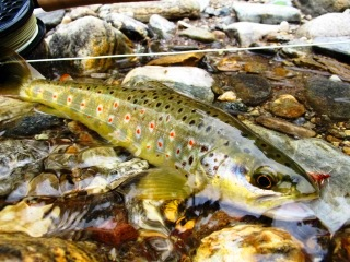 blog-May-18-2014-9-brown-trout-in-bhutan