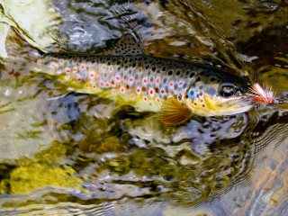 blog-June-1-2014-5-brown-trout-fishing-in-bhutan