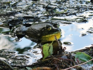 blog-June-21-2014-7-bullfrog