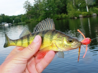 blog-June-24-2014-1-yellow-perch