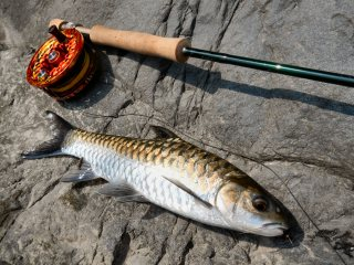 blog-May-21-2014-10-choclate-mahseer