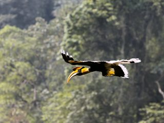 Niel Fox Photo - Great Hornbill