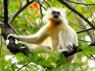 blog-May-22-2014-6-golden-langur-bhutan