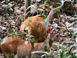 blog-May-26-2014-6-barking-deer-in-bhutan