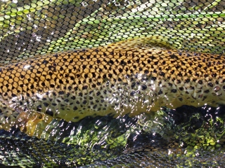 blog-July-8-2014-3-brown-trout-fishing